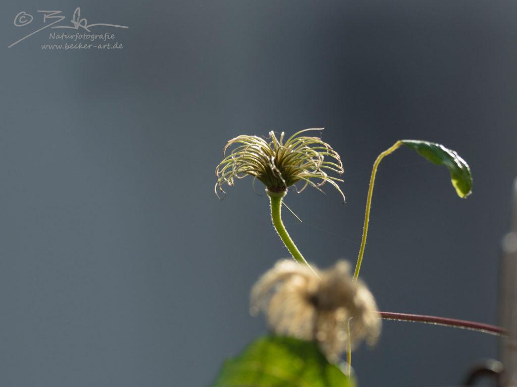 becker-art Bayern Garten Idylle Blume Gegenlicht