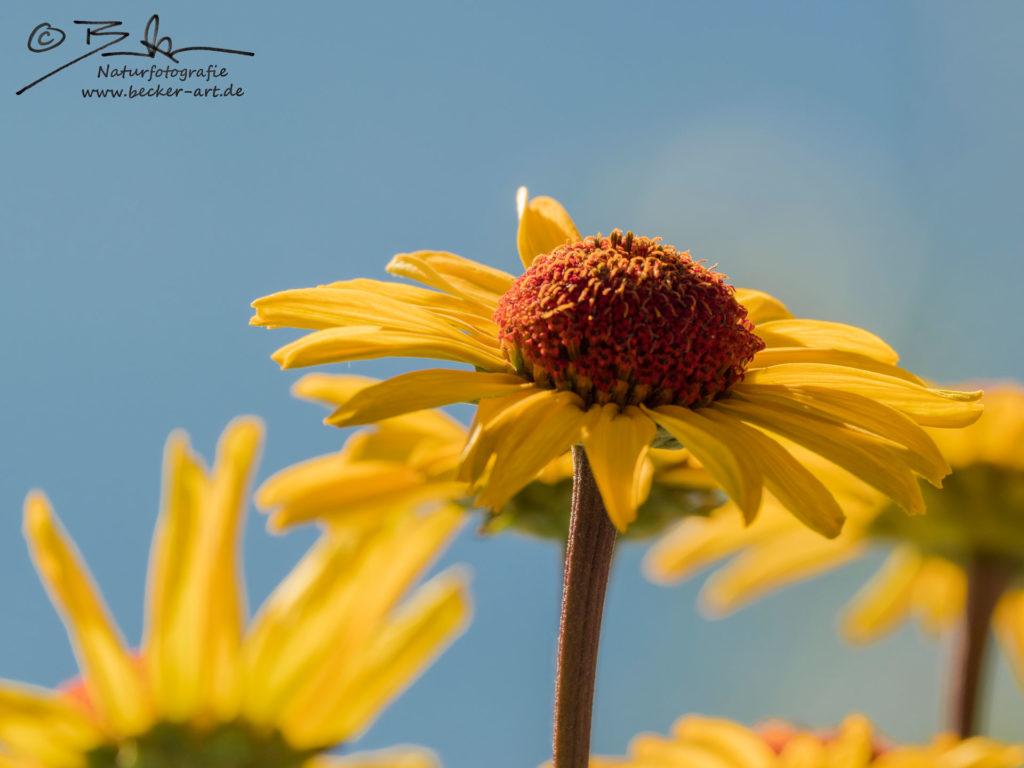 becker-art Bayern Garten Idylle Blume