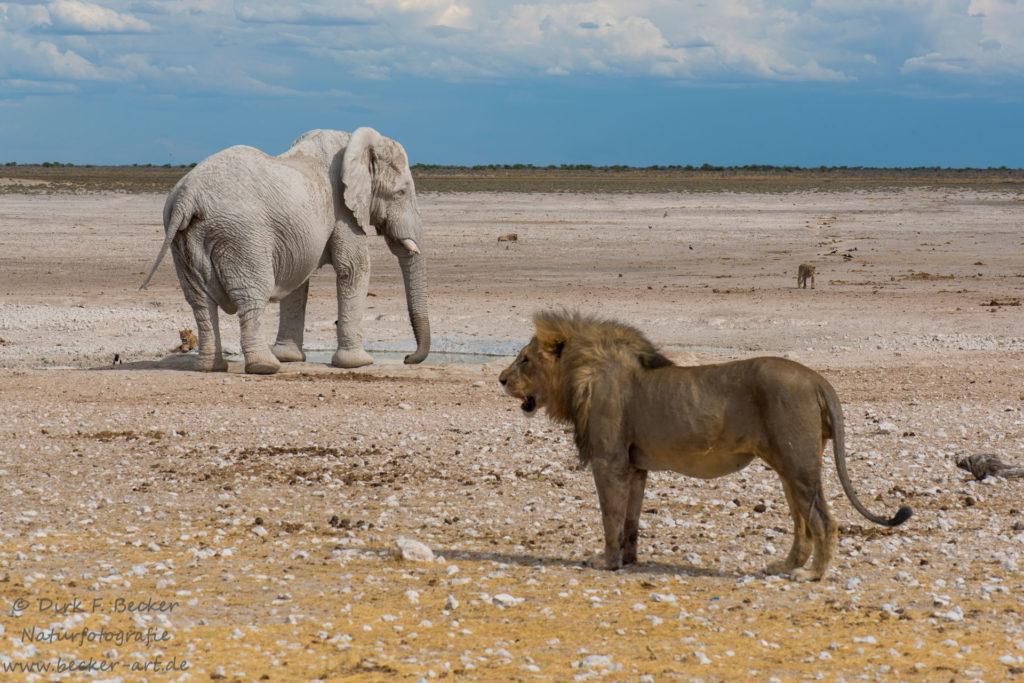 becker-art Wildlife Afrika Namibia Elefant und Löwen