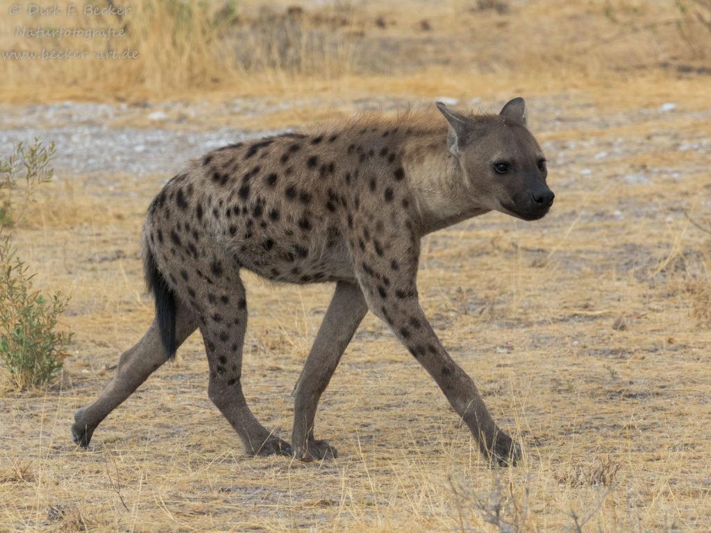 becker-art Wildlife Afrika Namibia Hyäne