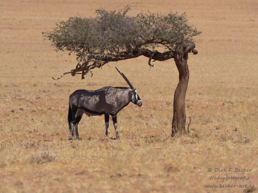 becker-art Wildlife Afrika Namibia Oryx Antilope sucht Schutz