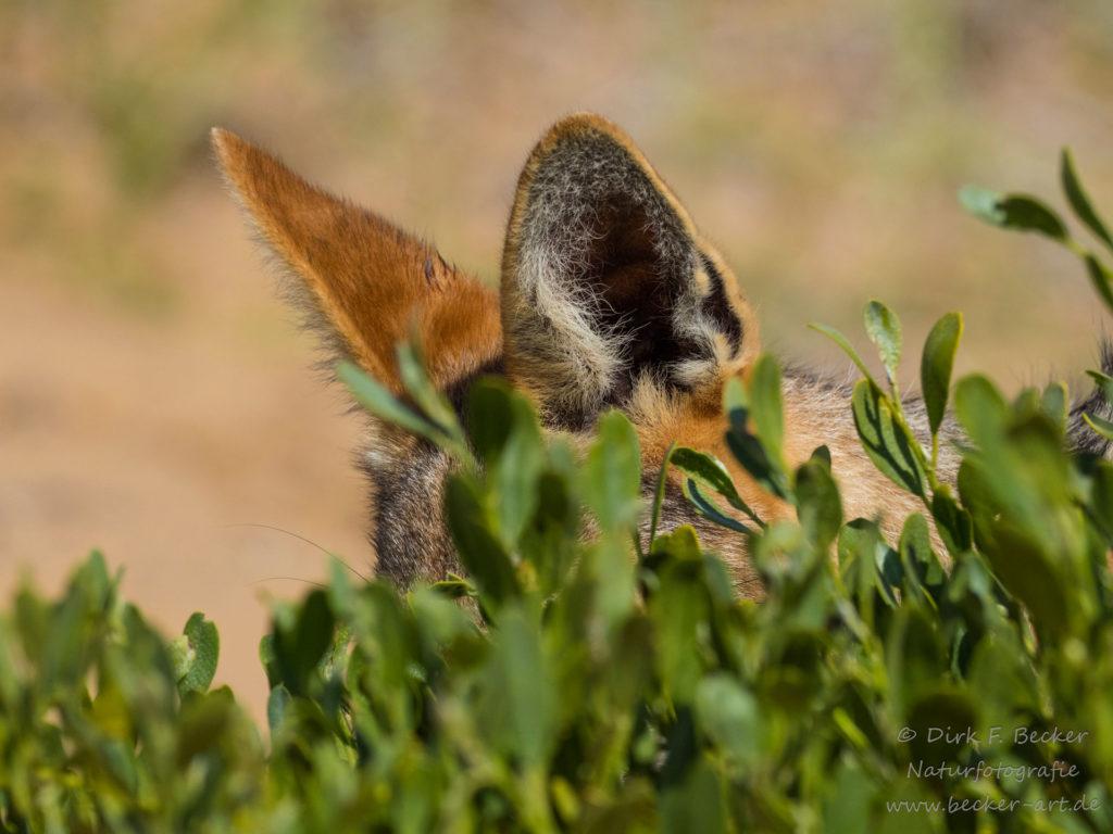 becker-art Wildlife Afrika Namibia Schakal spielt Verstecken