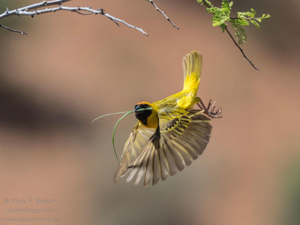 becker-art Wildlife Afrika Namibia Webervogel im Flug