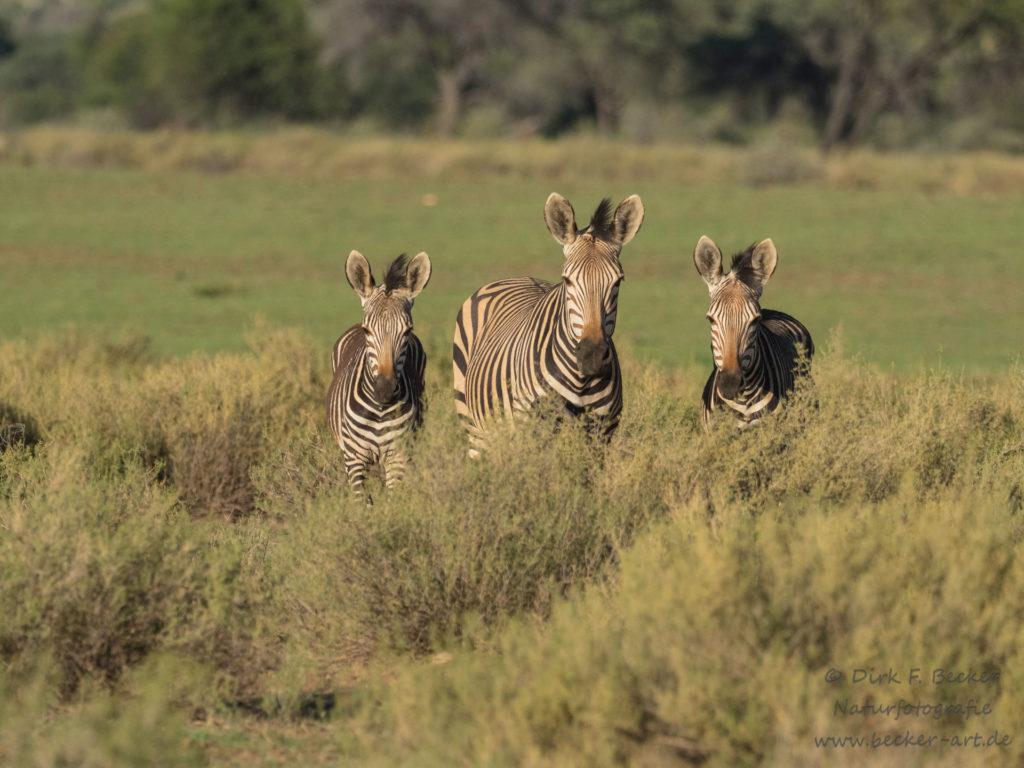 becker-art Wildlife Afrika Namibia Zebras