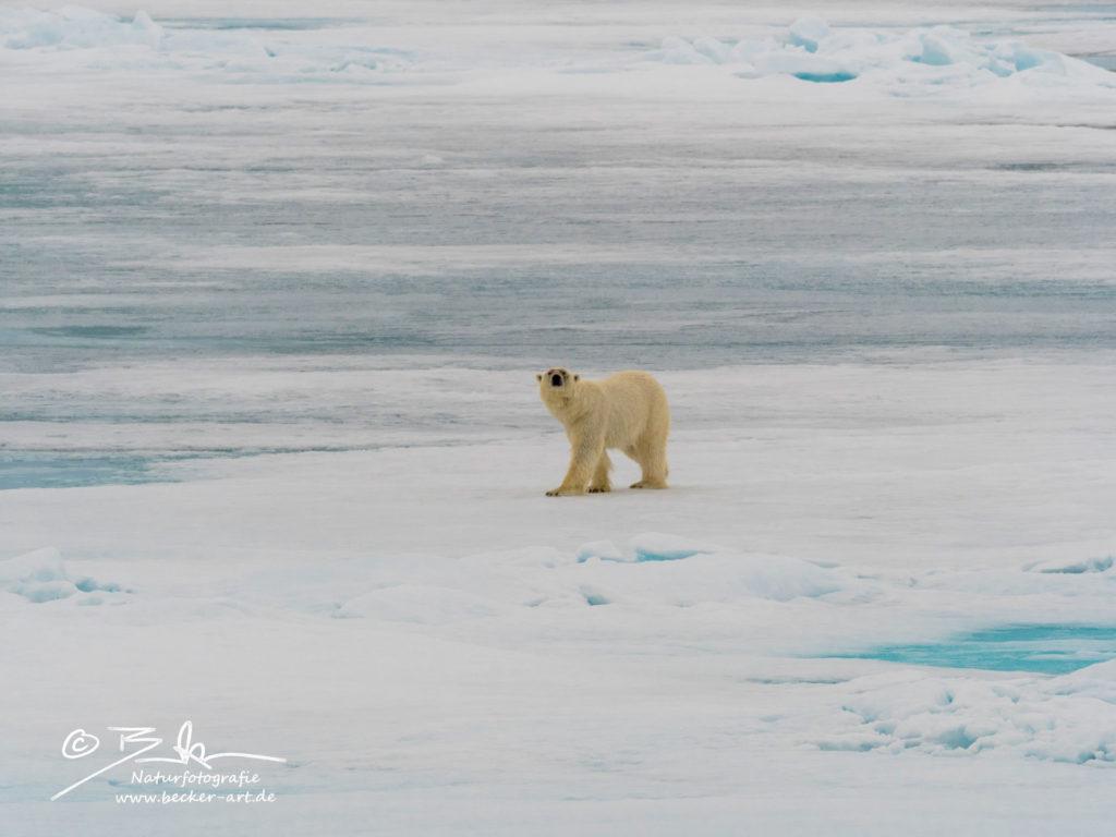 becker-art Wildlife Spitzbergen Svalbard Eisbär Polarbear