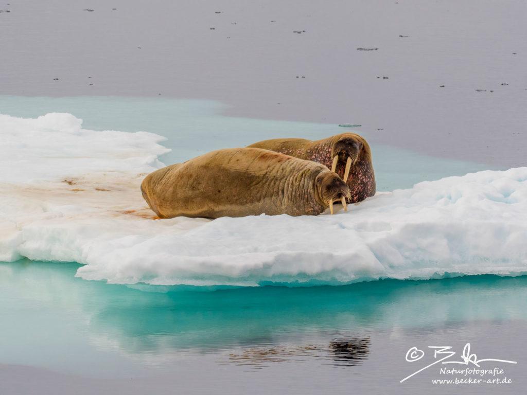 becker-art Wildlife Spitzbergen Svalbard Walross